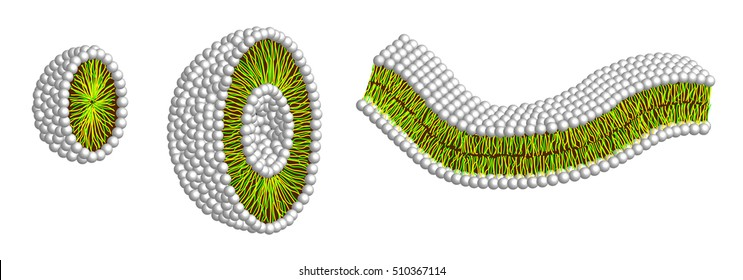 illustration of micelle, liposome and double layer