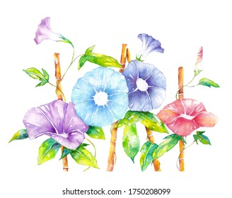 Illustration of morning glory drawn with watercolor