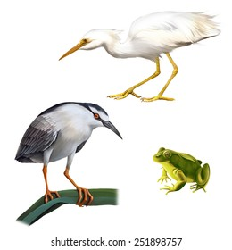 Illustration of Night Heron bird, Great White Egret (Ardea alba), and green frog Isolated on white background