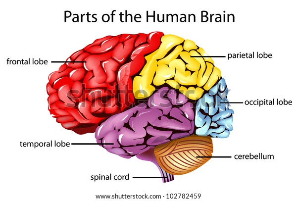 Illustration of parts of the brain - EPS VECTOR format also available in my portfolio.
