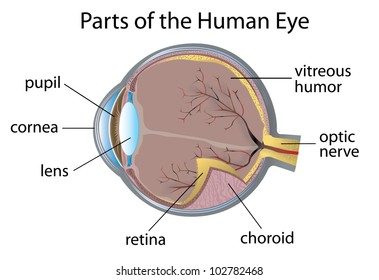 illustration of parts of the human eye - eps vector format also available  in my portfolio