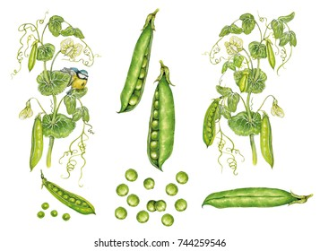 illustration of pea plant with peas (Pisum sativum) watercolor hand made on white