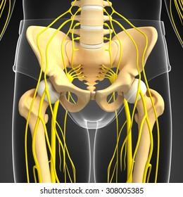 Illustration of pelvic and nervous system