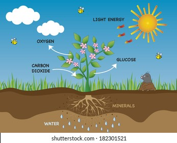 illustration of photosynthesis in plant