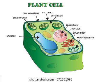 illustration of an plant cell