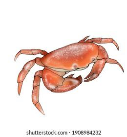 illustration of red crab on white