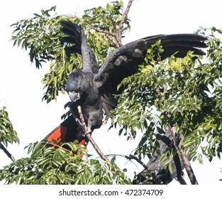 Illustration of red-tailed cockatoo in tree