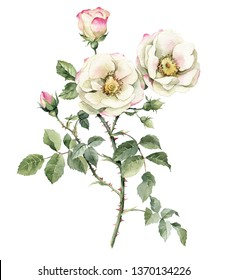 illustration Roses. Garden rose. Realistic isolated object on a white background for your design.