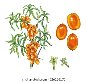 Illustration of sea buckthorn plant (Hippophae rhamnoides) with a branch with berries and leaves and flowers. Botanic watercolor hand drawn on white.