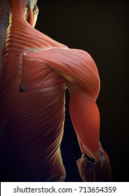 Illustration of the shoulder view with all the muscles in the right side of the body.