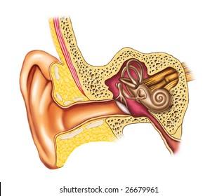Illustration showing the interiors of an human ear. Digital illustration.