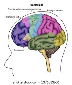 Illustration shown the different lobes of human brain, brain stem and cerebellum. It show n frontal lobe, temporal lobe, parietal lobe and occipital lobe.