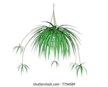 Illustration of a spider plant, a hanging plant