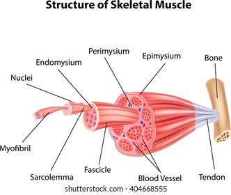 Illustration of Structure Skeletal Muscle Anatomy