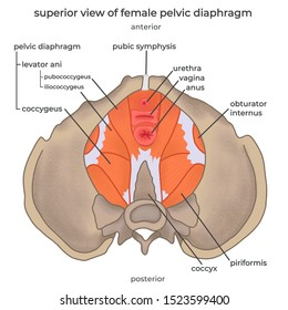 an illustration of superior view of female pelvic diaphragm with name labeled seperated on white background