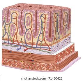 Illustration of thick intestine walls