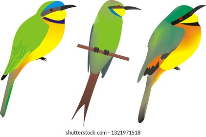 Illustration of three African bee eaters, from left to right, Blue breasted bee eater, Merops variegatus, swallow-tailed bee-eater, Merops hirundineus and little bee-eater, Merops pusillus.