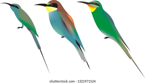 Illustration of three bee eater species, from left to right, Little green bee eater, Merops orientalis, European bee eater, Merops apiaster and Blue cheeked bee eater, Merops persicus.