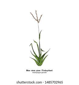 Illustration of Turkeyfoot, Bluestem grass,  Andropogon gerardii.