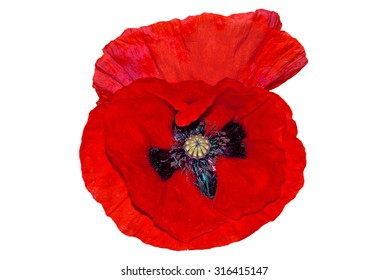 Illustration of two poppies isolated on white background