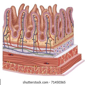 Illustration of the walls of the small intestine