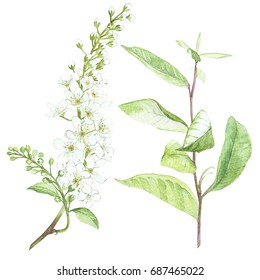 Illustration in watercolor of Bird-cherry tree flower. Floral card with flowers. Botanical illustration