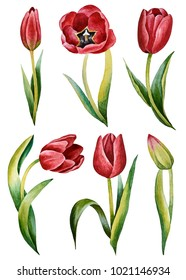 Illustration of watercolor hand drawn set of colorful red tulips isolated on white background. Spring flowers. Card for Mothers day, 8 March, wedding.