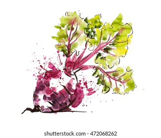 Illustration in watercolor and ink, beet