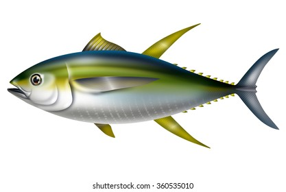 Illustration of yellowfin tuna./Thunnus albacares.