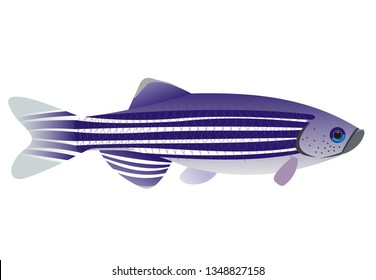 Illustration of a zebrafish (Danio rerio) with a white background