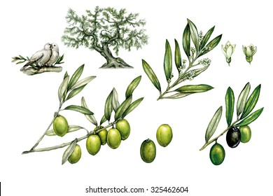 illustrations of olive tree (olea europea) with branch with olives and branch of flowers, green olives, flowers and doves