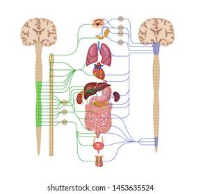 Illustrations of sympathetic & parasympathetic nervous system
