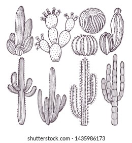 Illustrations of wild cactuses. hand drawn pictures. Cactus plant nature, doodle drawing
