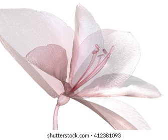 image of a flower  isolated on white , the Amaryllis 3d illustration