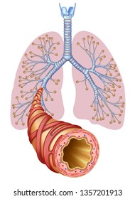 Image of the lungs and a bronchus that leaves the bronchial branch to the foreground showing the walls that compose it and those that are in normal and healthy state.
