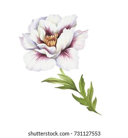 Image of Peony flower. Hand draw watercolor illustration.
