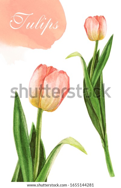 image of a pink tulip on a white background. Watercolor sketch. Raster illustration in the style of Batanic.