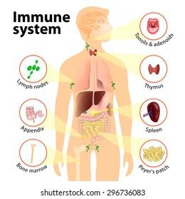 Immune system. Human anatomy. Human silhouette with internal organs.