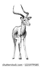 Impala hand drawn illustrations (originals, no tracing)