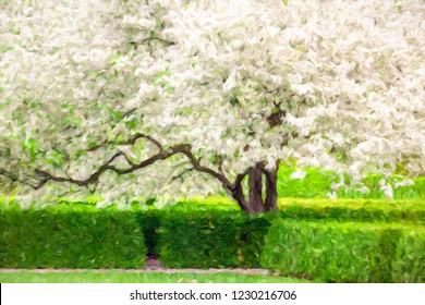 Impressionistic abstract of a Japanese flowering crabapple (binomial name: Malus floribunda) in bloom, like a white cloud, in a hedge garden, with digital impasto effect, for themes of spring