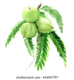 Indian gooseberry, Phyllanthus emblica or amla, green fruits isolated,  illustration