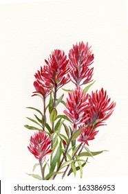 Indian Paint Brush.  Red wildflowers painted in watercolor, illustration style with a white background