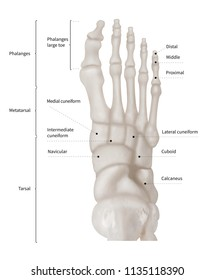 infographic diagram of human foot bone anatomy system anterior view- 3d-  human anatomy-