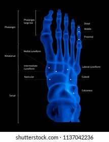 Infographic diagram of human foot bone anatomy system anterior view- 3D- medical illustration- human anatomy- medical diagram- educational concept- x-ray blue tone color film
