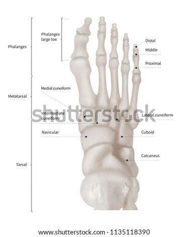 Infographic Diagram Human Foot Bone Anatomy Stock Illustration