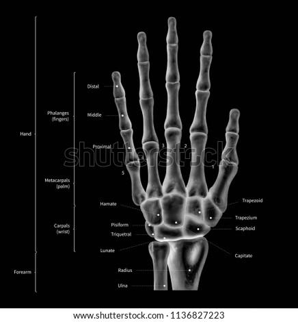 infographic diagram human hand bone 450w 1136827223 infographic diagram human hand bone anatomy stock illustration