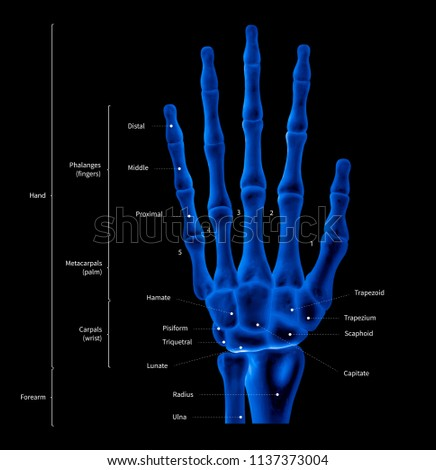 infographic diagram human hand bone 450w 1137373004 infographic diagram human hand bone anatomy stock illustration