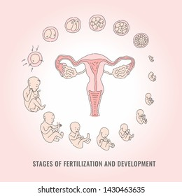 Infographic of pregnancy stages with process of fertilization and development of embryo in line hand drawn style - isolated illustration of mitosis and fetal growth cycle.