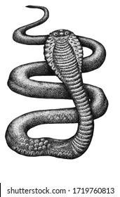 ink cobra snake on a white