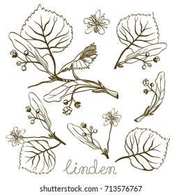 Ink linden herbal illustration. Hand drawn botanical sketch style. Good for using in packaging - tea, oil, cosmetics etc.